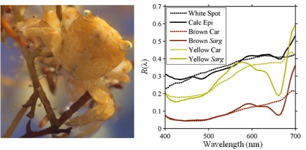 sarg-crab
